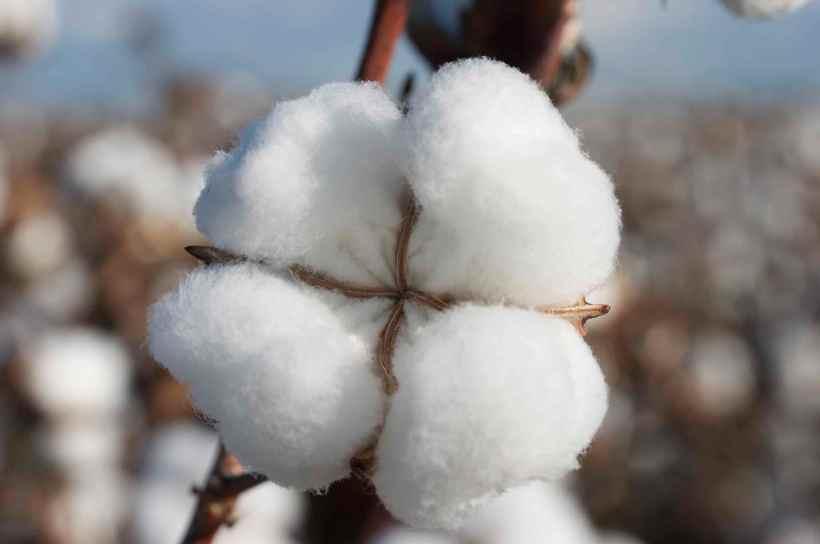 Cotton_Boll_2