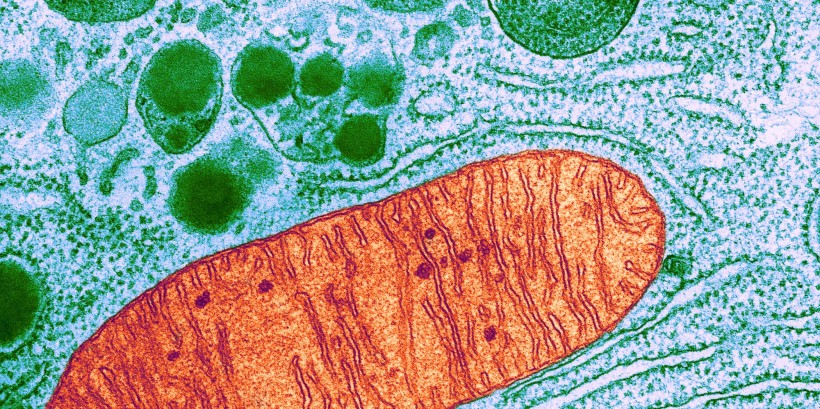 c0174146-mitochondrion_tem-e1395677949410-2000x999