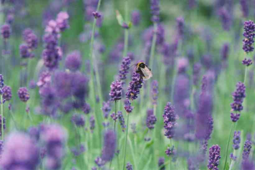 lavender-and-bee.jpg