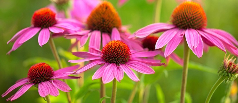 blog-featured-echinacea-20180131